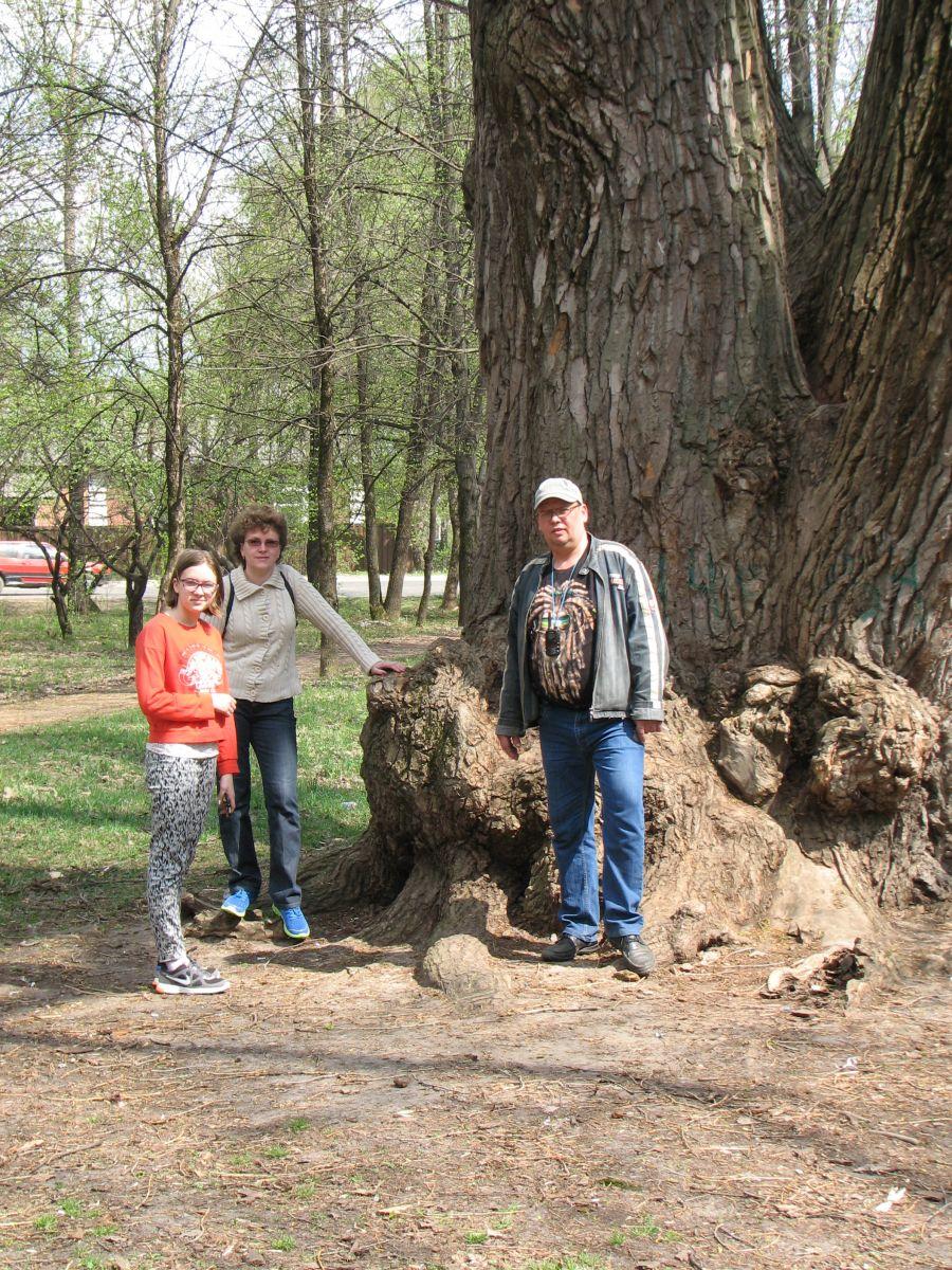 Гусь-Хрустальный, древнее дерево